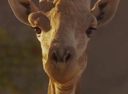 """《地球:神奇的一天》长颈鹿特辑 变身""""自来水""""观众诚意推荐"""