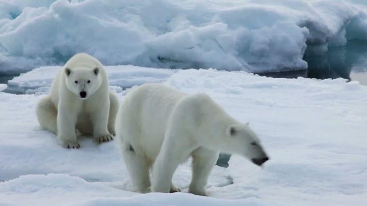 北极 花絮3:北极熊一家