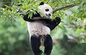 大熊猫福顺撒娇视频走红