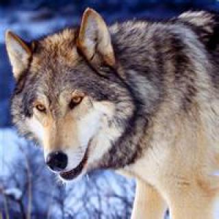 表情 超酷超霸气的的狼头像,适合个性的你 头像图片表情包大全 表情