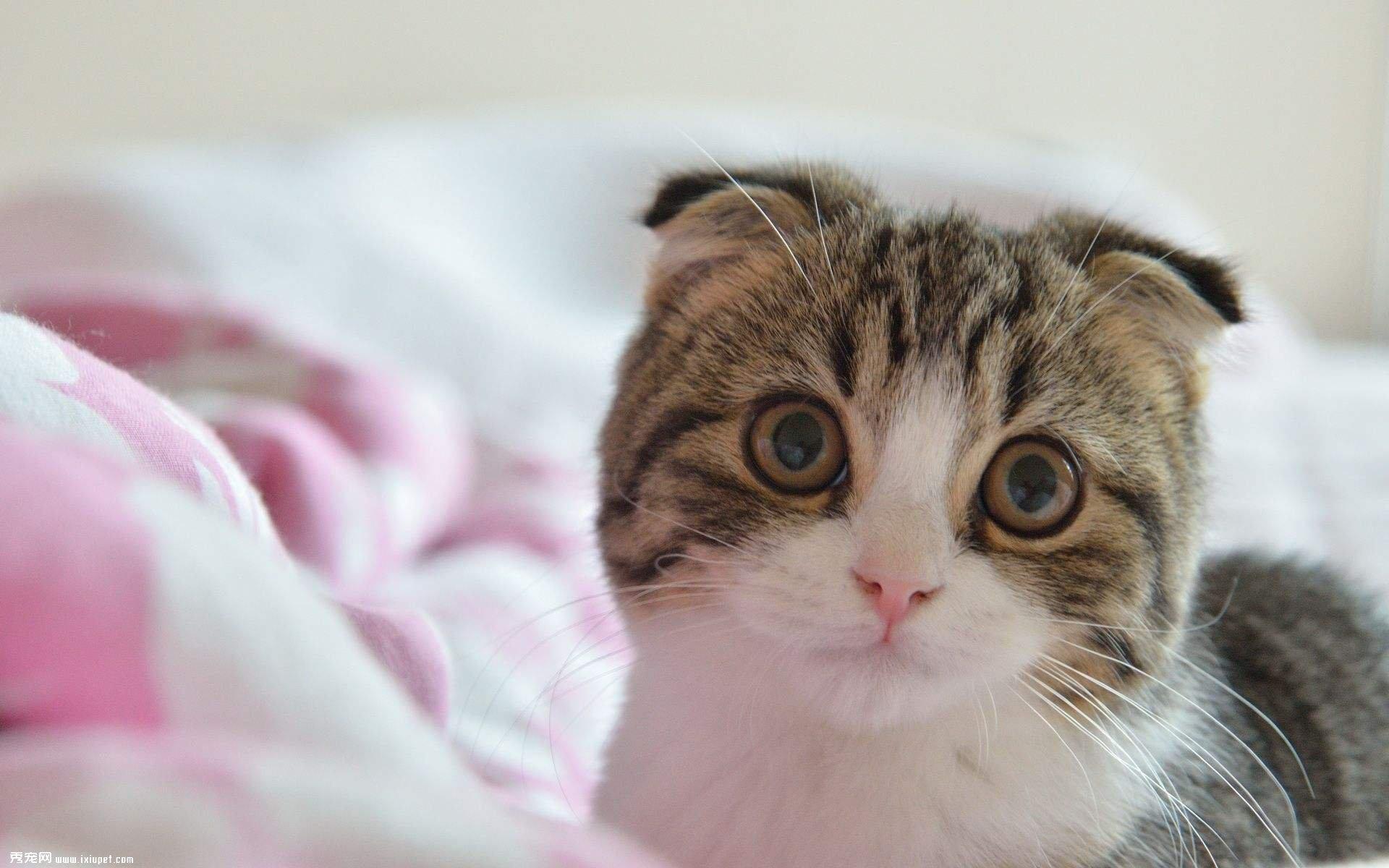 表情 苏格兰折耳猫起源 猫猫饲养 猫猫 百科 秀宠网 表情