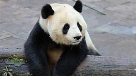 爱上大熊猫
