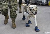 """墨西哥地震救援持续 搜救犬""""全副武装"""""""