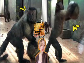 网红人脸猴子的尴尬一幕