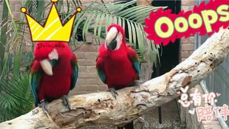 两只鹦鹉自从听了摇滚之后 身体就一直摇摆 188