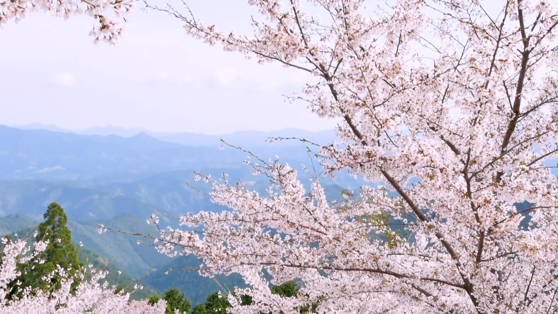 2019最美赏樱之地古都奈良吉野山!