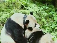 黄晓明帮熊猫借种 草草护崽吓跑果子狸