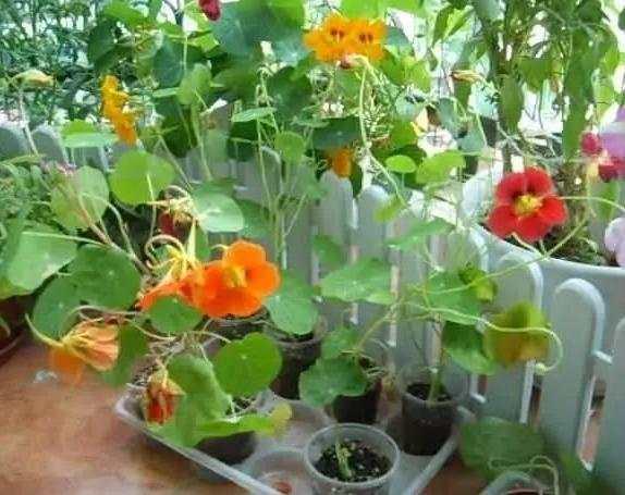 旱金莲的养殖方法介绍图片