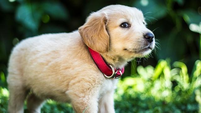 奇迹sf发布网站小奶狗要断奶,主人可不能强迫,用这3步帮狗狗断奶更安全