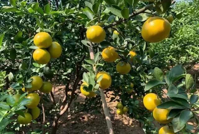新开魔域私服发布网20亩果子即将冻烂,果农心急如焚,只盼年前能卖掉