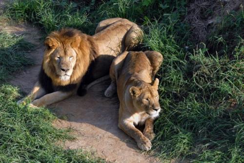 印度官員:14歲女孩上廁所時,被兩隻獅子吃掉