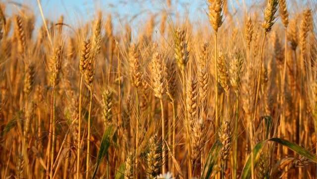 小麥降,玉米降,糧價進入下跌通道瞭嗎?附10日玉米、小麥價格