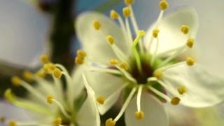 鲜花利用昆虫来辅助完成授粉 延时摄影表现花卉绽放的过程