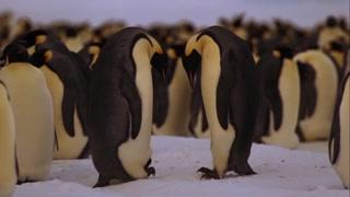 动物界的一大壮举 雄企鹅孵蛋的奇迹