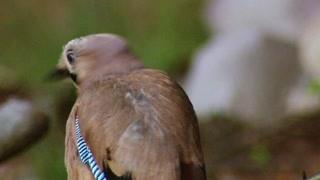 酸蚁把大型入侵者赶走 鸟儿知道蚁酸的作用并加以利用