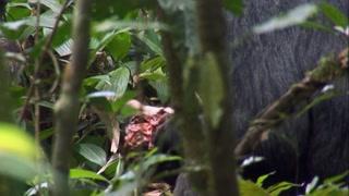 黑猩猩群体杀死入侵者 并将其残忍分食