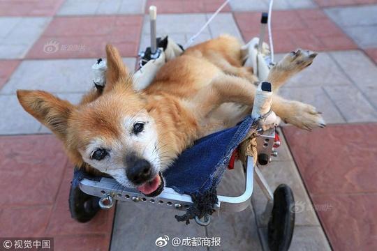 19岁小狗瘫痪 主人自制轮椅照顾:把它当家人