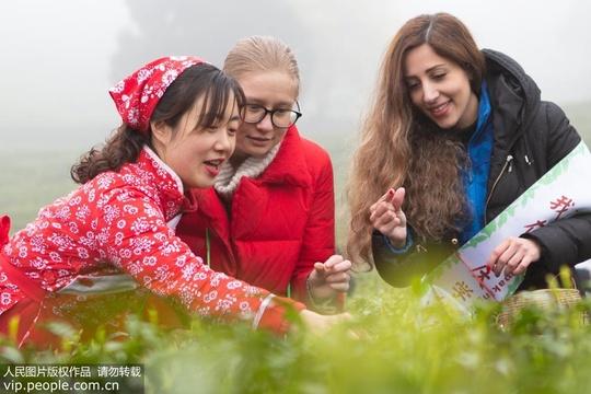 重慶:外國友人茶園現場學制茶