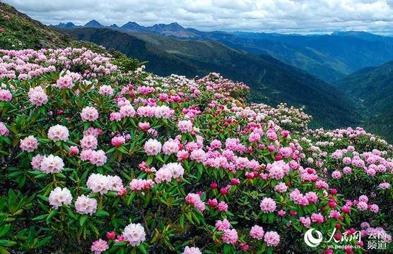 云南迪庆:以五月杜鹃花之旅开启全域旅游序幕