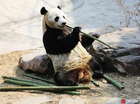 遼寧沈陽:初春氣溫升高 熊貓盡享春光