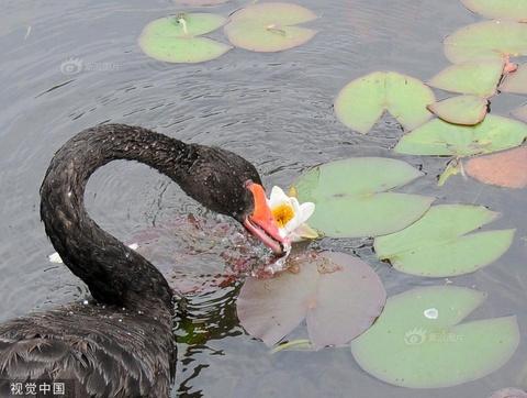 饿了啥都吃 圆明园黑天鹅吃睡莲