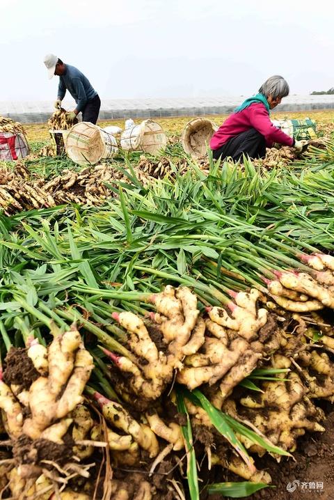 晒·秋 | 青州1.8万亩优质大姜丰收上市 姜农抢收获忙储存