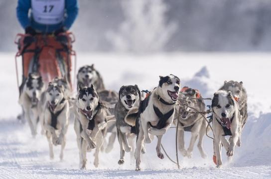 奥地利举行狗拉雪橇锦标赛