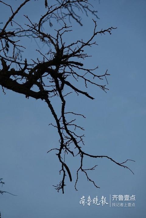 掉光树叶的老枝 苍劲有力