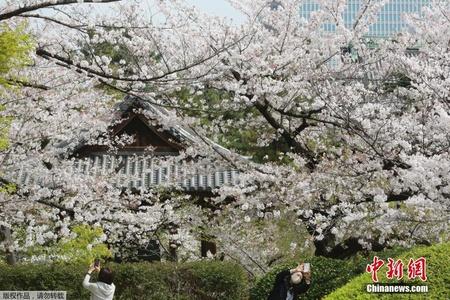 日本多地樱花提前满开 京都刷新1200年记录