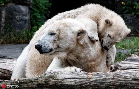 怡然自得!德国动物园内的一对北极熊母女自在玩耍尽显萌态