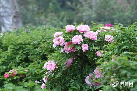 错过今春再等一年 济南泉城公园牡丹花开正艳丽