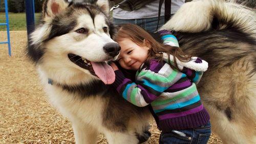 挑选阿拉斯加雪橇犬时值得注意的