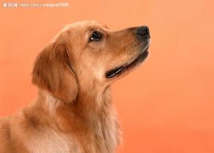 金毛犬挑食厌食怎么办