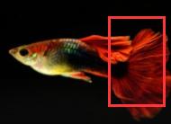 孔雀鱼如何区分公母公鱼和母鱼?,看完就明白了