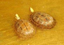 如何养金钱龟,养殖金钱龟,金钱龟药用功效 又快又好