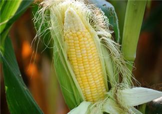玉米须治肾结石的效果好吗 玉米须治肾结石怎么喝,专家详解