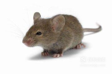 被老鼠咬出血怎么办,看完就明白了