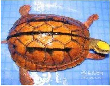 金钱龟的养殖方法,这几步你要了解