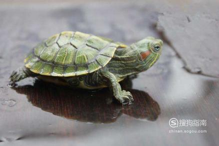 怎样预防治疗乌龟腐皮