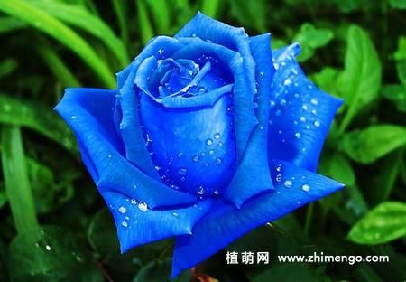 蓝色妖姬的花语是什么,蓝色妖姬花语大全,照着学就行了