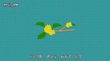 桂花都有哪些品种?