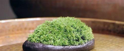 白发苔藓怎么养 原来是这样的
