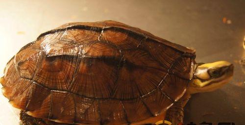金钱龟养殖实例,金钱龟疾病防治,金钱龟养殖方法,值得收藏