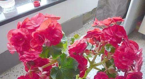 丽格海棠叶扦插的方法
