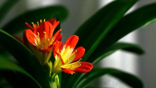 怎样养君子兰、养兰花技巧、养花作用、养花经验 划重点了