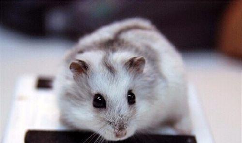 新手怎么养仓鼠 新手养仓鼠注意事项 专家详解