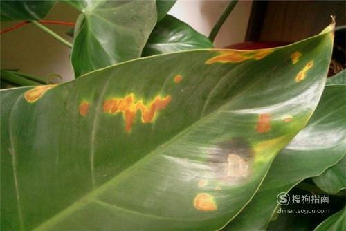 有哪些方法可以解决绿宝石叶子发黄?,看完你就知道了