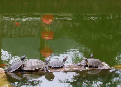 金钱龟的养殖方法 你值得一看的技巧