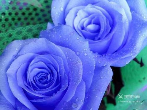 """蓝玫瑰""""蓝色妖姬""""的花语?,这些知识你不一定知道"""