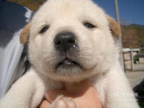 狗狗感冒流鼻涕怎么办,狗狗流鼻涕打喷嚏 值得一看